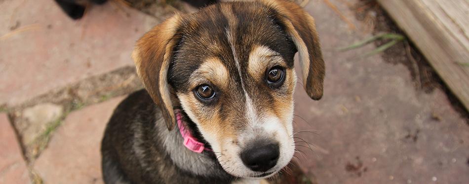 Beagle Husky Mix (Busky) Puppy looking into camera