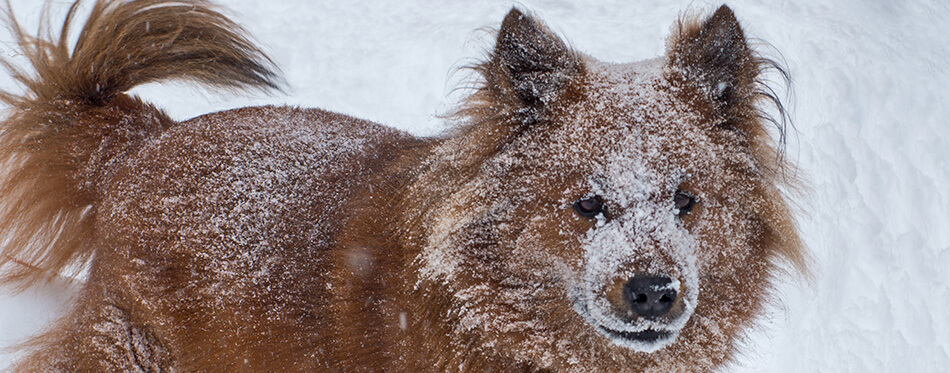 Brown Husky Chow mix dog plays in the snow.