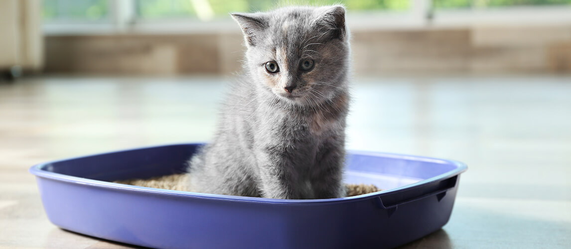 Cute British Shorthair kitten in litter box at home