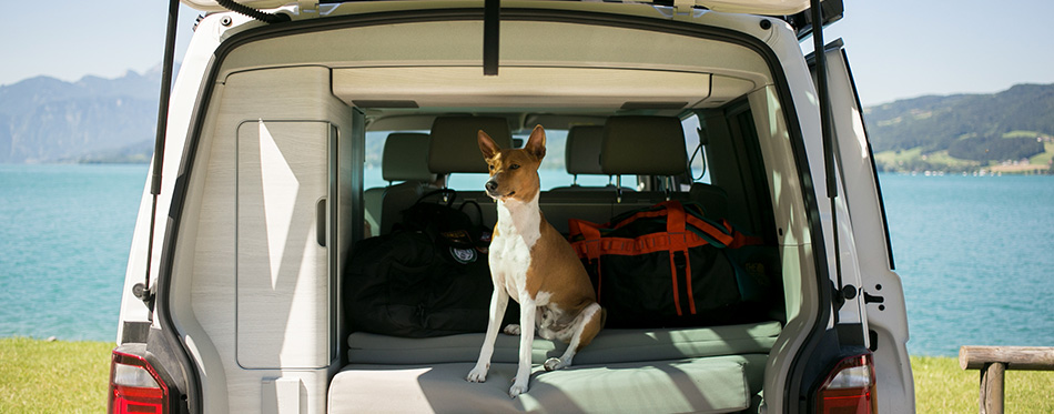 Cute and adorable small brown puppy or dog of basenji breed sits in trunk of camping van