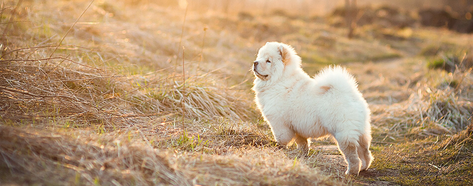 Cute chow chow in the field