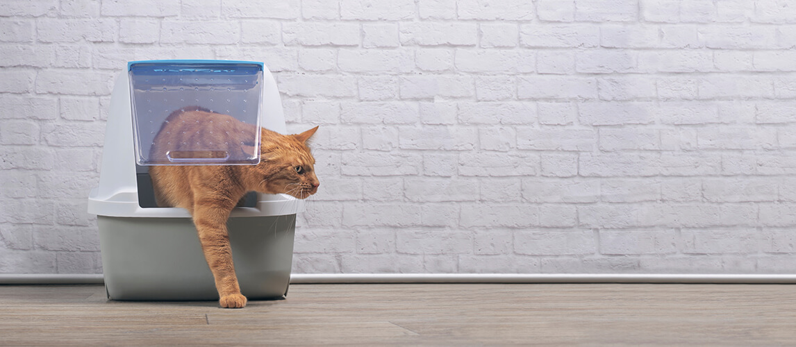 Cute ginger cat going out of a closed-Litter box. Panramic image with copy space.