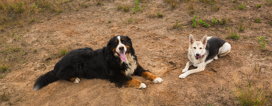 Front view at two husky and Bernese Mountain Dog lying on green meadow and looking at camera.
