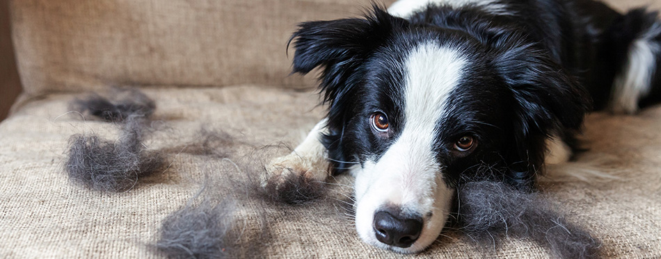 Funny portrait of cute puppy dog border collie with fur in moulting lying down on couch.