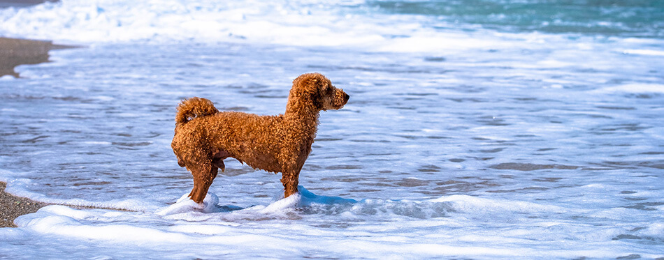 Groodle, Labradoodle loves to swim. Milopotamos Greece. Young miniature goldendoodle playing in blue sea.