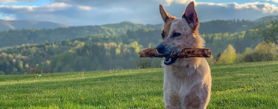 Holding stick and being nice. Mixed breed
