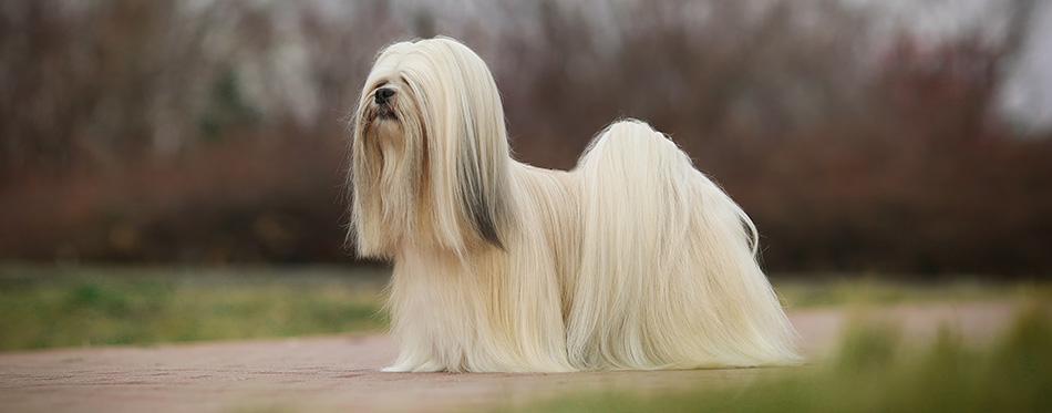 Lhasa apso dog show champion portrait