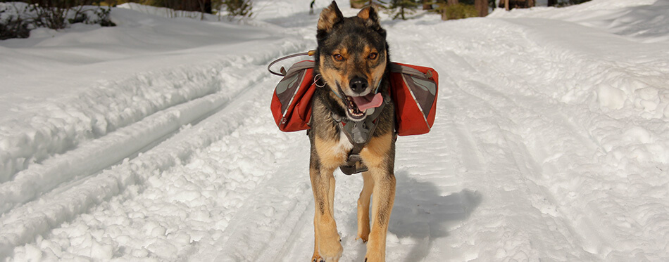 Mixed breed Rotweiller Husky rescue with dog backpack plays outside in snow