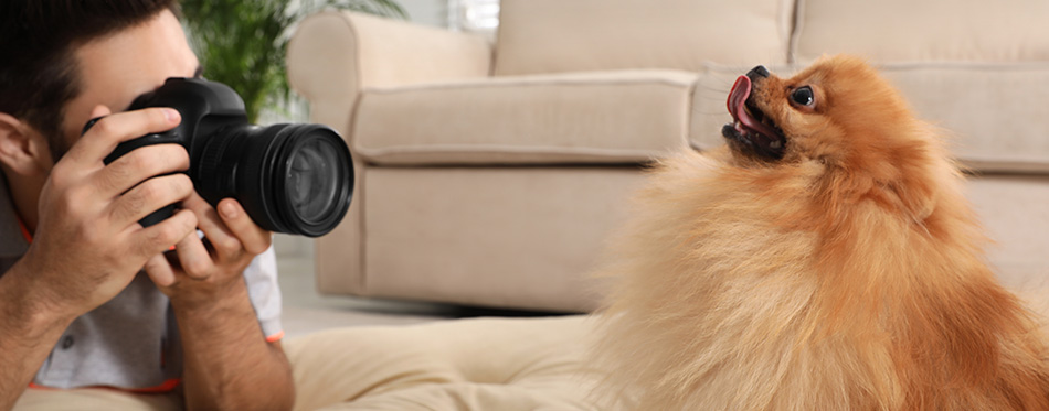 Professional animal photographer taking picture of beautiful Pomeranian spitz dog at home