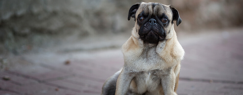 Pug dog sitting on the pavement.