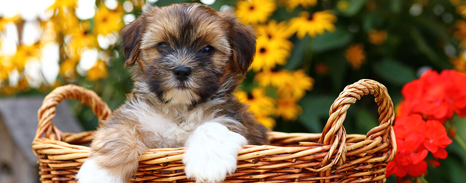Shih Tzu and Yorkshire Terrier mix (commonly referred to as a Shorkie) puppy sitting in wicker basket in front of flowers.