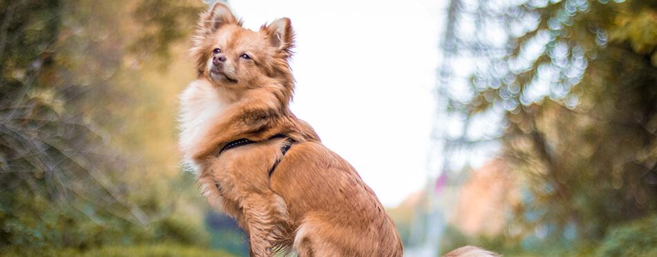 Small pomchi dog sitting on gravel.