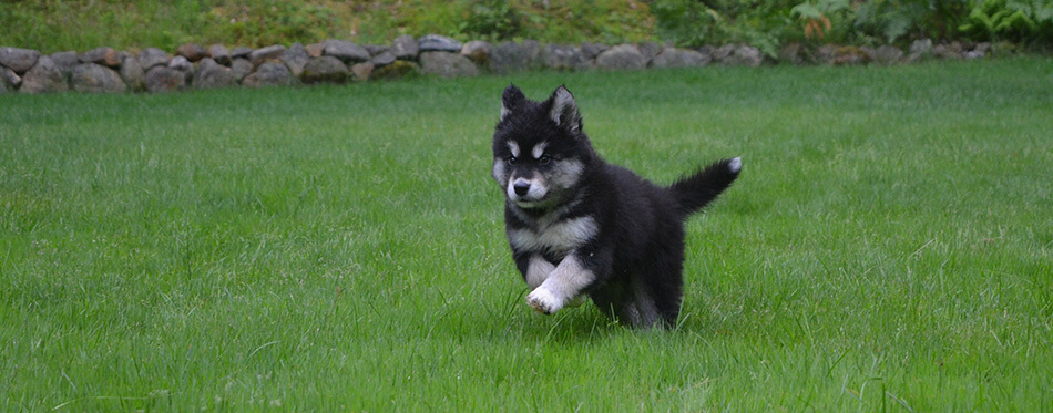 Very sweet alusky puppy playing and bounding through the grass.