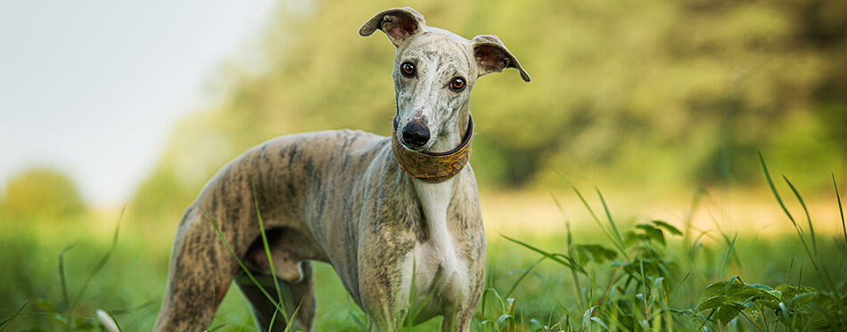 Whippet dog in a meadow