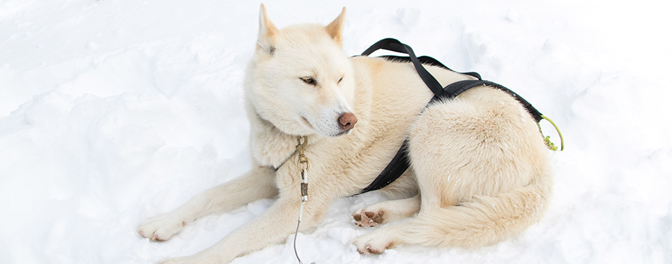 White dog in the snow with strings from the sled.