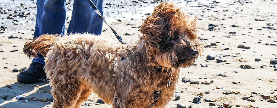 cairnoodle dog on a beach