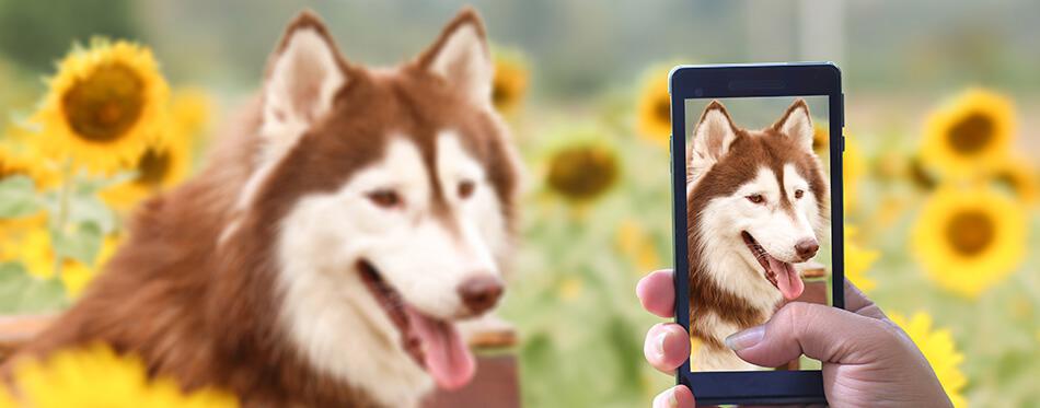 dog siberian husky love take photo in smart phone