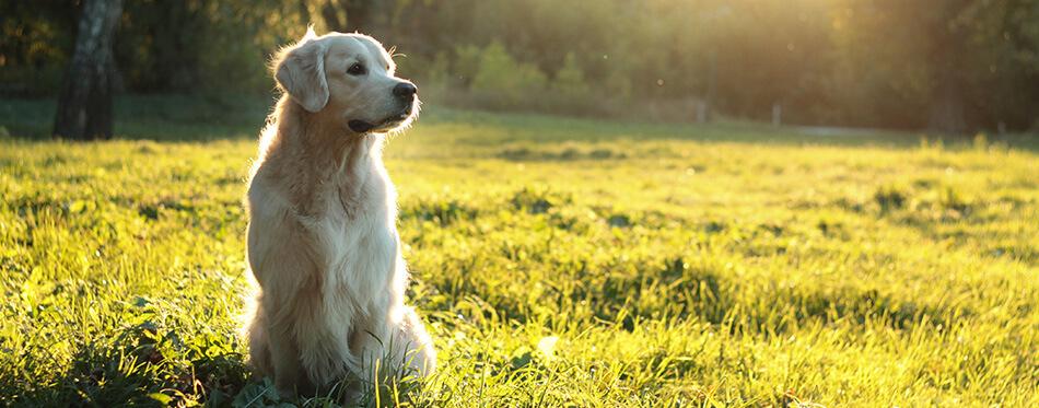 golden retriever in summer sunlight sunset on green grass