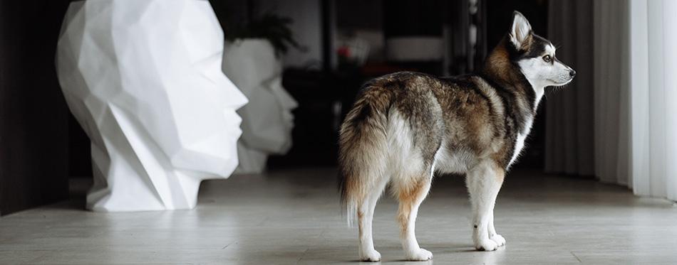 husky mini dog pomski spitz
