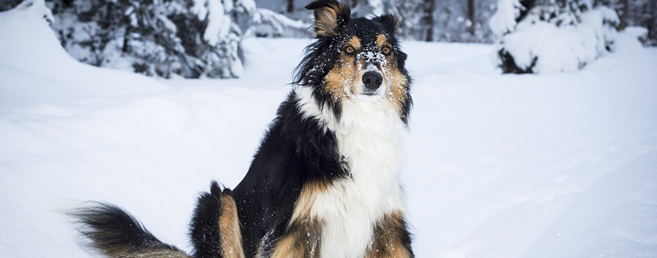 playful border collie husky crossbreed dog sits in snow in winter