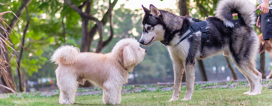 poodle terrier and Siberian Husky Puppy, dog playing the green park, relax pet, animal funny, Two puppy playing on green grass