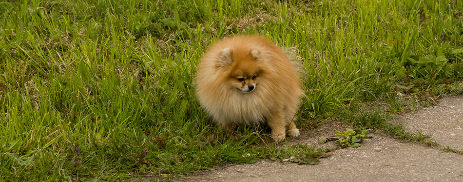 spitz dog pooping defecate on walk way in the park