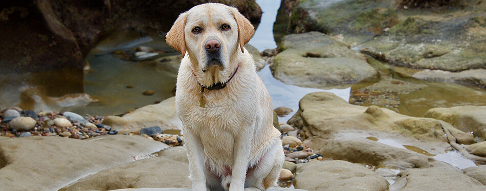 A handsome, english yellow labrador retriever, still damp, and tired after playing vigorously in the ocean, takes a rest, while striking adorable poses.