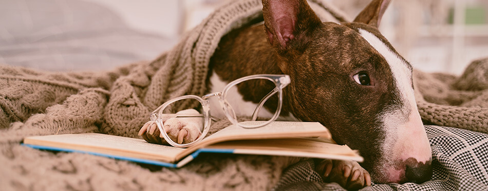 A horizontal photo of dog lying in bed, wearing glasses for vision, covered with a blanket, reading book in cozy apartment