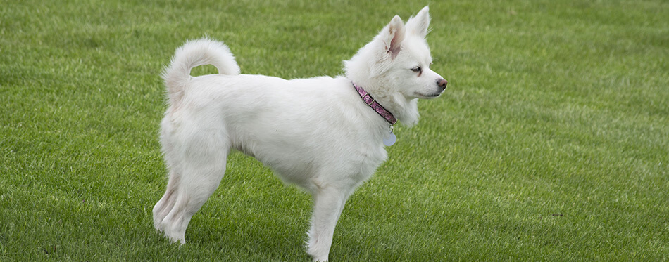 A miniature American Eskimo dog stands in profile on a field of grass.