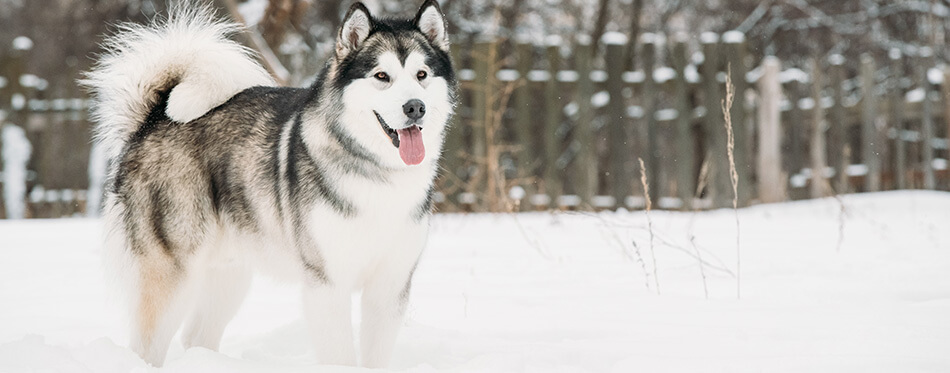 Alaskan Malamute Playing Outdoor In Snow, Winter Season.