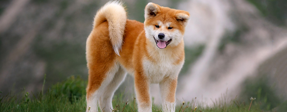 Beautiful Akita Inu puppy for a walk on the background of nature.