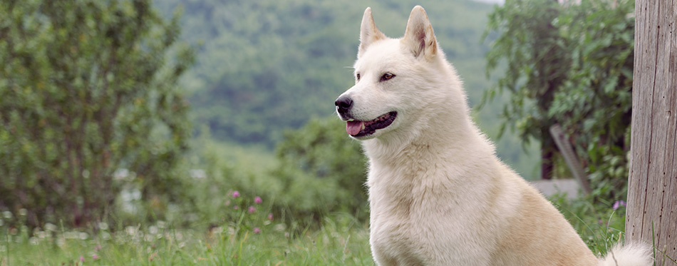 Beautiful Siberian husky (Laika) dog sitting outdoor