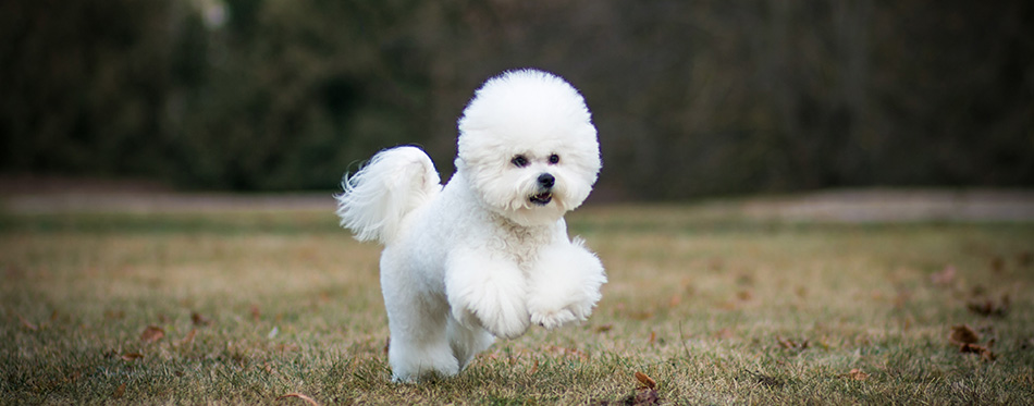 Bichon frize in action outside.