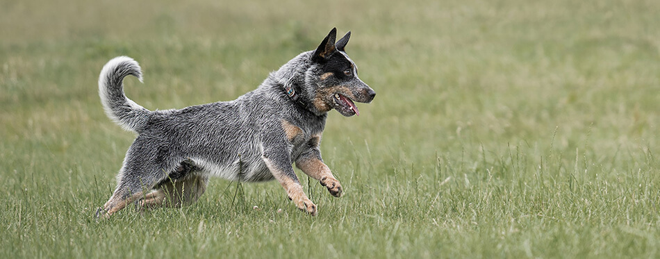 Blue Australian Cattle dog runs and chases after a ball.