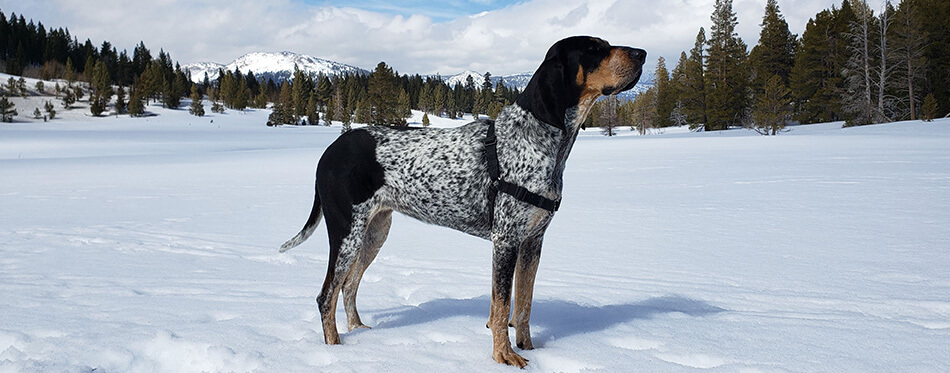 Bluetick Coonhound dog in the Sierra Mountains on a sunny day.