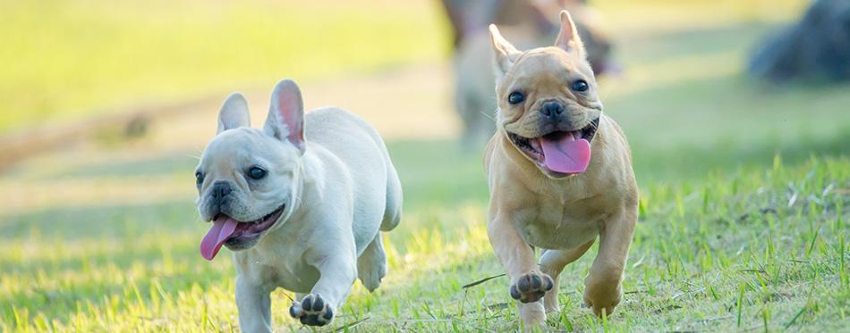 Cute French bulldog puppy in green yard