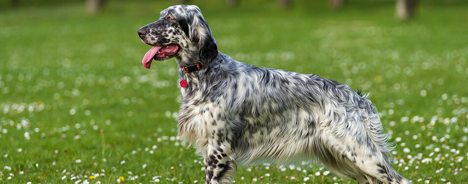 Cute blue belton English Setter dog is standing in a beautiful spring flowering meadow before a groves background