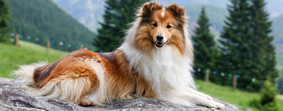Cute, fur sable white shetland sheepdog, small collie lies outdoors on big rock on summer time.