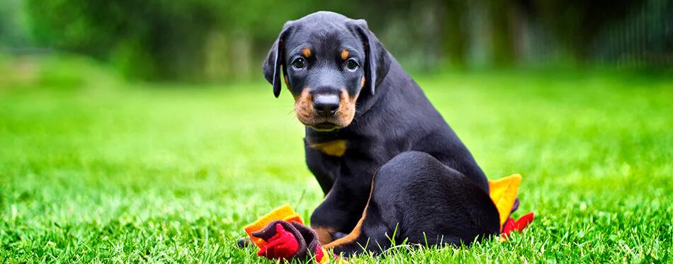 Doberman puppy in grass.