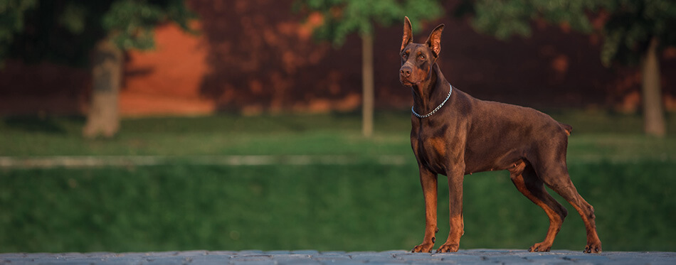Doberman stands on the red square in Moscow