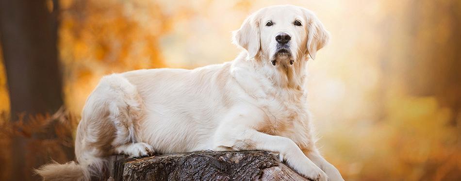 Dog-breed-Golden-Retriever lies on a stump.