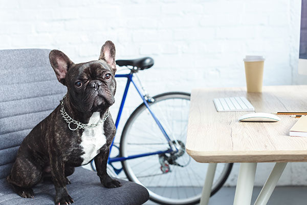 French bulldog sitting on chair by table in home office