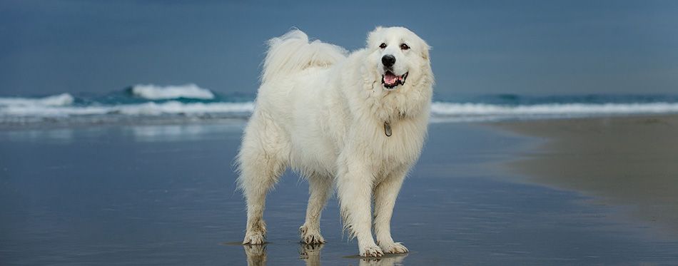 Great Pyrenees dog portrait at beach