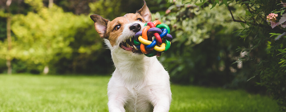 Jack Russell Terrier dog running with a colorful ball