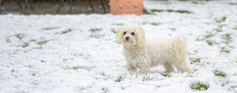 Little white Maltese Havanese dog enjoying the winter weather standing outdoors in the garden in fresh snow looking away to the side