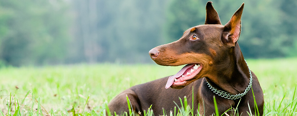 Lying purebred brown Doberman pinscher with open mouth outdoors