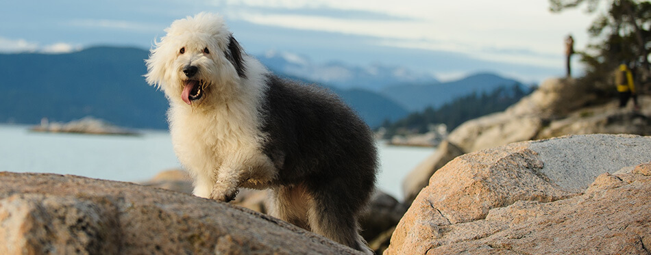 Old English Sheepdog outdoor portrait on rocks above water