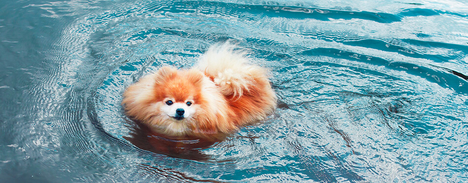 Pomeranian Spitz dog, cute little puppy swimming in water