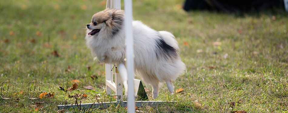 Pomeranian on agility field for dogs, training and competing, jumping over obstacles, crossing over balance ramp, passing through the tunnel, running slalom