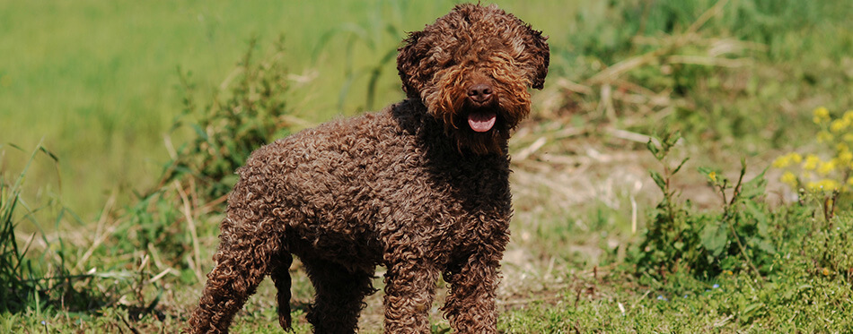 Portrait of Lagotto Romagnolo truffle dog in outdoors.